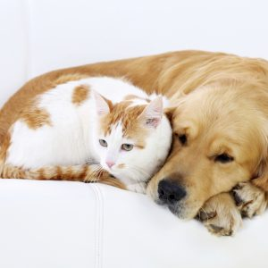Friendship of dog and cat- resting together, lying on white sofa.